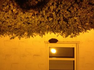06-26-12-avena-sleeping-bees